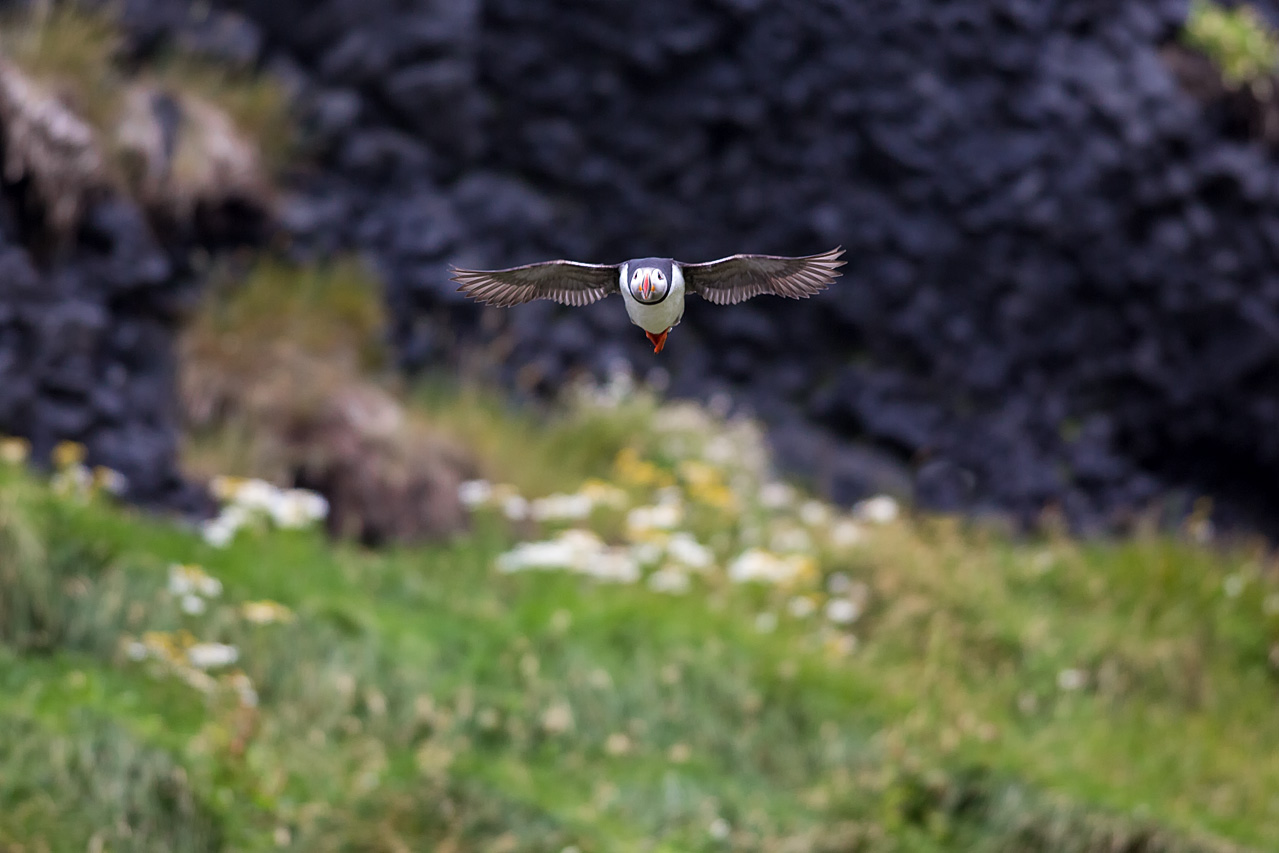Puffin from coast